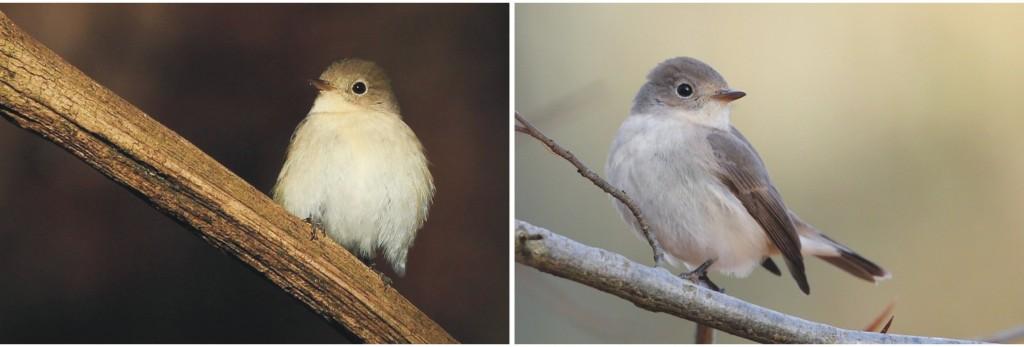 Kleine vliegenvanger, vogelonderzoek, Staring Advies