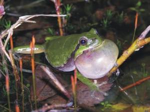 Boomkikker, amfibieën, monitoring, aanvullend onderzoek