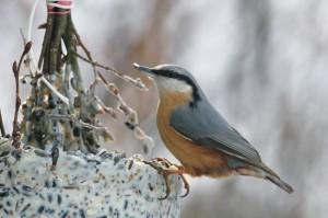 Boomklever, vogels, broedvogelonderzoek, monitoring