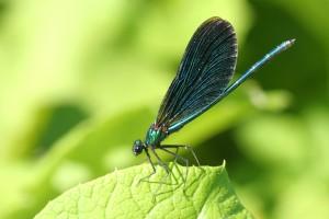 Bosbeekjuffer, Flora- en faunawet, onderzoek, insecten