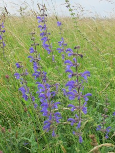 Veldsalie, flora, vegetatie