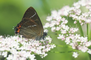 Iepenpage, dagvlinders, monitoring, rode lijst, flora- en faunawet