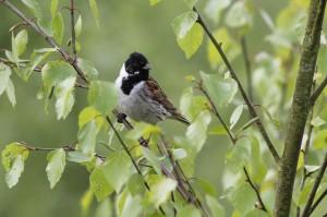 Rietgors, vogels, onderzoek