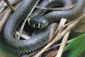Ringslang, reptielen, monitoring, aanvullend onderzoek