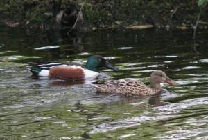 Slobeend, vogels, Flora- en faunawet