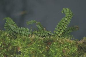 Steenbreekvaren, flora, vegetatie, monitoring. muurflora