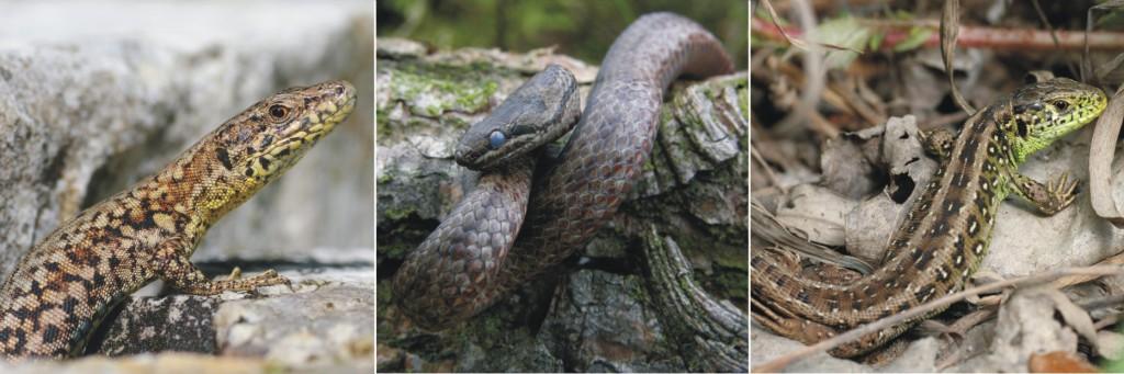 Ampelbewertung Planungsrelevanten Arten, FFH, Natura 2000, Reptilien