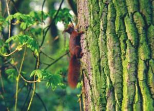 Eekhoorn, vleermuizen, aanvullend onderzoek, flora- en faunawet, Staring Advies